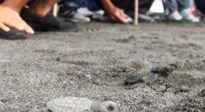 Miles de tortugas bebés son liberadas en Bali, Indonesia