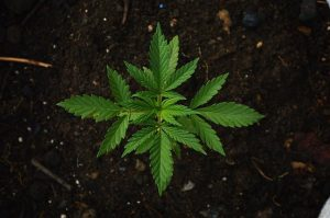 Legalización de mariguana